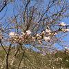 やっと花開いた桜