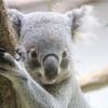 コアラ抱っこ体験記:パース【オーストラリア】