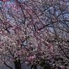 桜に首ったけ