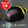 キヘリキンチャクダイ 幼魚 約4-6cm±! 海水魚 ヤッコ 餌付け 15時までのご注文で当日発送【ヤッコ】