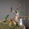 盆栽に、小さな葉が生まれた時が植え替えドキ