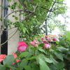 小さな庭のバラ  Ⅲ
