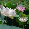 【お花見1】石神井川 音無もみじ緑地の蓮 (サイクリングコース3 石神井川サイクリング沿い)
