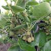 キウイの摘果