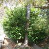 バクチノキ剪定とツル性植物取り除き
