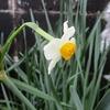 立春、二代目の胡蝶蘭は「ブログに出すことでがんばる」だった。