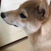 柴犬あきとの生活 83