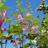 暦上の梅雨入りを指す入梅!梅雨入りと立葵と栗の花の関係性