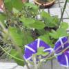 アサガオが3つ同時に咲いた