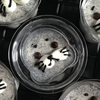 可愛いすぎる♥ごまアザラシの「黒ごまプリン」の簡単レシピ