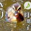 カルガモの雛鳥 呼び鳴き【野鳥図鑑・鳴き声図鑑】