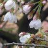 桜の開花 新宿御苑 Cherry blossom