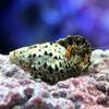 (海水魚)ヤドカリ 沖縄産 スベスベサンゴヤドカリ(1匹) 北海道・九州航空便要保温
