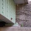 橋の下に隠れたカワセミ