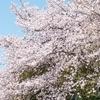 足羽川桜2019 アクセス・駐車場・見頃時期・ふくい春まつり・ライトアップ
