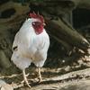 【脂質制限】鶏肉はできるだけ油抜きして食べよう!!