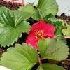 現在の植物の状況、いちごの赤い花がかわいい