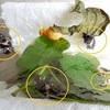 ジャコウアゲハ 蛹に