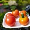 トマト(フルティカ)初収穫