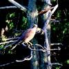 鳴きながら飛んで行った里山の鷹(たか)ーサシバ