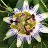 トケイソウの花と実