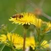 タンポポとミツバチ
