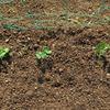 エンドウ豆の植付け