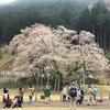 4/3 淡墨桜2021