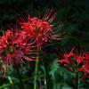 野川公園・自然観察園の彼岸花(曼珠沙華)が見頃でした