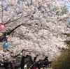 函館に桜を見に行ってみたけど、だいたい終わっていた件③