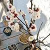 梅の開花が進んで、盆栽鉢は今が春