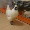鳥インフルエンザにまつわるおはなし。