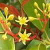 大木タブノキと小木ニシキギの目立たない花