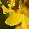 都内のオススメ紅葉スポット情報! 上野公園のイチョウの黄葉と六義園の紅葉