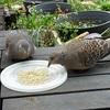 梅の実。キジバトとの距離50cm。マヨ蒸し鶏。