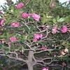 立寒椿(山茶花)咲く