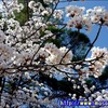 【花見】津市・偕楽公園で桜を観てきた!って話