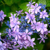 Aero 098  恵比寿の紫陽花