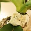胡蝶蘭のフザリウム(カビ)感染をお茶がらで治療した結果・・・
