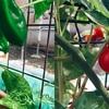 ピーマン&フルーツトマトを収穫![プランター菜園]