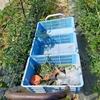 農家ブログ☆出荷用【ミニトマト】のハウス。草取り追いつかず💦