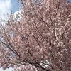 2021.03.26 満開の桜と祝・BANANA FISH舞台化