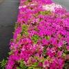 咲き始めた道端のサツキ(皐月)と今後のイベント予定