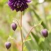 ブルーの開花、オールドローズの蕾