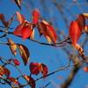紅葉を求めて近所を散策