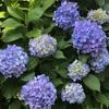 紫陽花と料理本