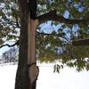 【大木を育てる事の難しさと素晴らしさ】