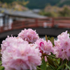 しゃくなげのお寺・女人高野室生寺を撮るのだ