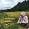 稲を刈る(2016年9月17日)
