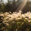 【一日一枚写真】光に揺れる芒【一眼レフ】